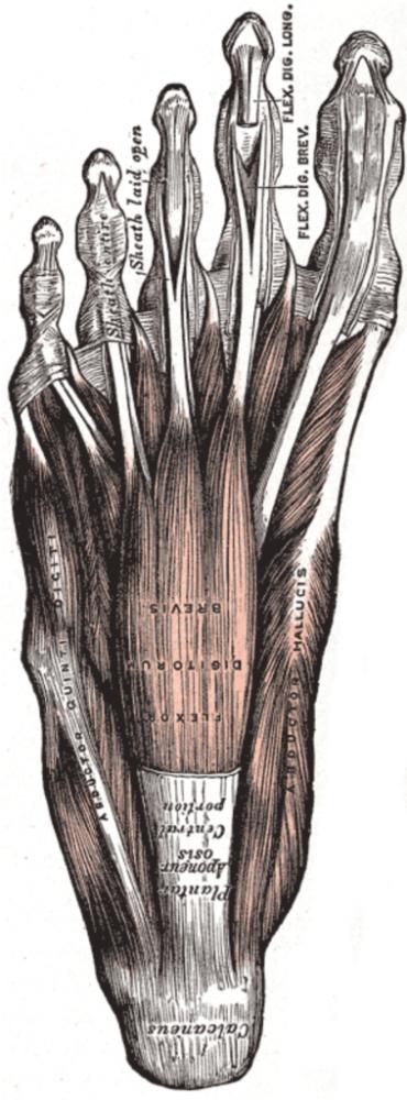 【研究関連】足の小さな筋肉の大きな役割